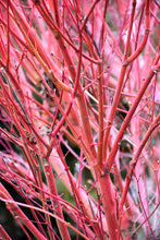 Load image into Gallery viewer, Coral Bark Japanese Maple stems