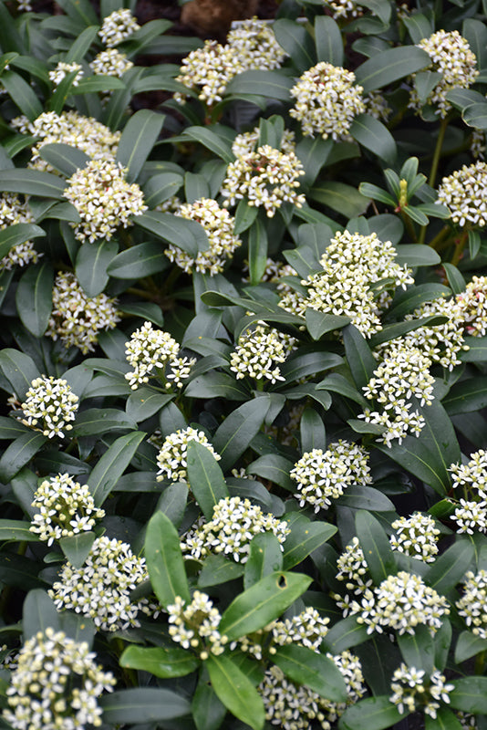 Dwarf Female Japanese Skimmia flowers