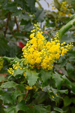 Load image into Gallery viewer, Oregon Grape foliage