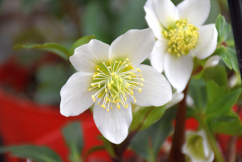Gold Collection® Jacob Hellebore flowers