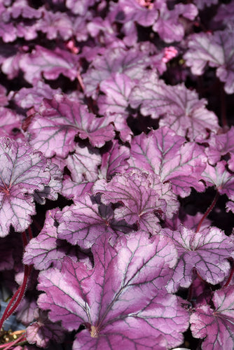 Forever® Purple Coral Bells foliage