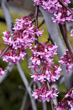 Load image into Gallery viewer, Lavender Twist Redbud flowers