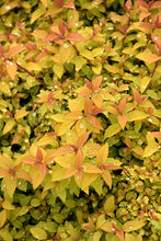 Load image into Gallery viewer, Sundrop™ Spiraea foliage