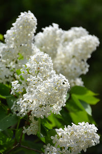 White French Lilac flowers