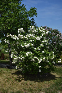 Snowball Viburnum in bloom