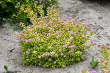 Load image into Gallery viewer, Sundrop™ Spiraea in bloom
