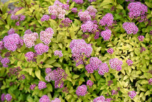 Load image into Gallery viewer, Sundrop™ Spiraea flowers