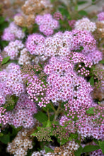 Load image into Gallery viewer, Little Princess Spirea flowers