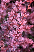 Load image into Gallery viewer, Rose Glow Japanese Barberry foliage