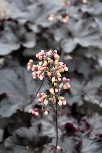 Black Pearl Coral Bells flowers