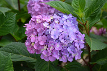 Load image into Gallery viewer, Bloomstruck® Hydrangea flowers