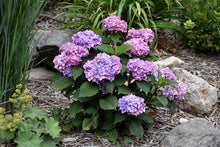Load image into Gallery viewer, Bloomstruck® Hydrangea in bloom