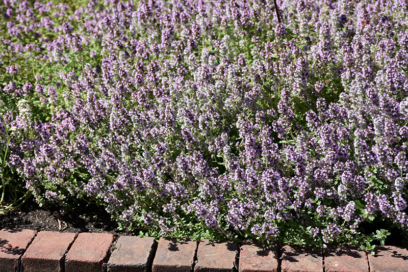Common Thyme in bloom