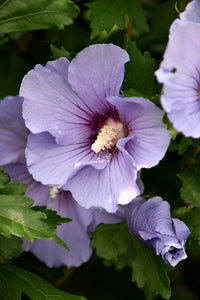 Blue Satin® Rose of Sharon flowers