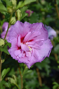 Lavender Chiffon Rose Of Sharon flowers
