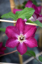 Load image into Gallery viewer, Viva Polonia Clematis flowers