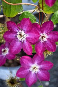 Viva Polonia Clematis flowers