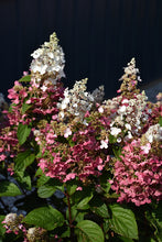 Load image into Gallery viewer, Pinky Winky® Hydrangea flowers