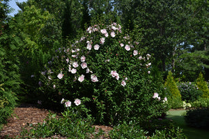Pink Chiffon® Rose of Sharon in bloom