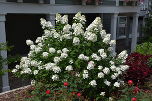 Fire Light® Hydrangea in bloom