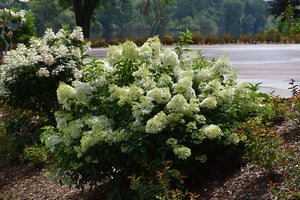 Little Lime® Hydrangea in bloom