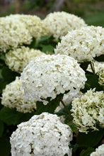 Load image into Gallery viewer, Invincibelle® Wee White Hydrangea flowers