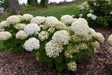 Load image into Gallery viewer, Invincibelle® Wee White Hydrangea in bloom