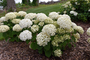 Invincibelle® Wee White Hydrangea in bloom