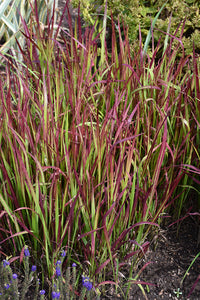 Red Baron Japanese Blood Grass foliage