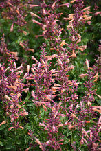 Load image into Gallery viewer, Mango Tango Hyssop flowers