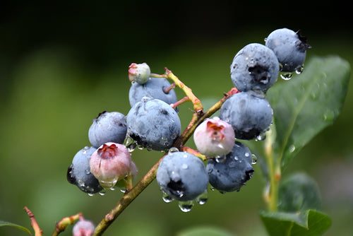 Blueray Blueberry fruit