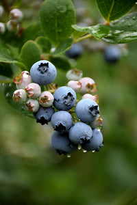 Duke Blueberry fruit