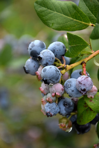 Darrow Blueberry fruit