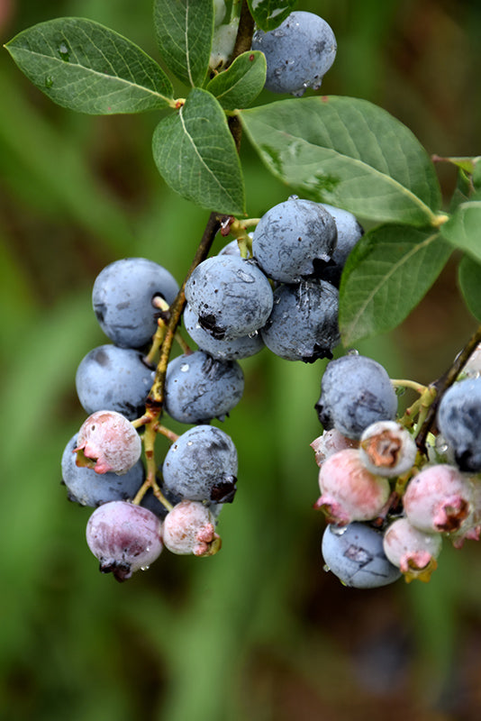 Legacy Blueberry fruit
