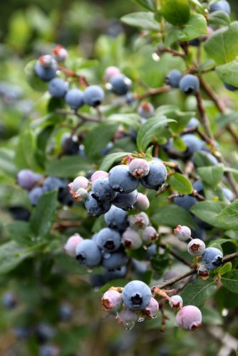 Blue Jay Blueberry fruit