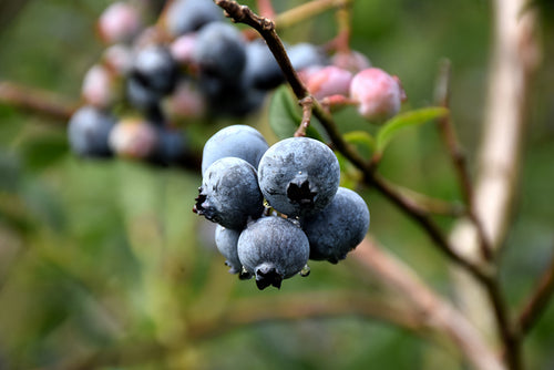 Chandler Blueberry fruit