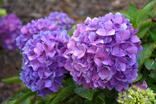 Load image into Gallery viewer, Let's Dance® Rave® Hydrangea flowers