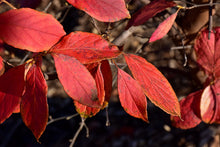 Load image into Gallery viewer, Japanese Stewartia in fall