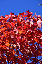 Load image into Gallery viewer, October Glory Red Maple in fall