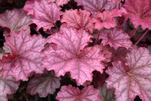 Berry Smoothie Coral Bells foliage
