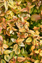 Load image into Gallery viewer, Kaleidoscope® Abelia foliage
