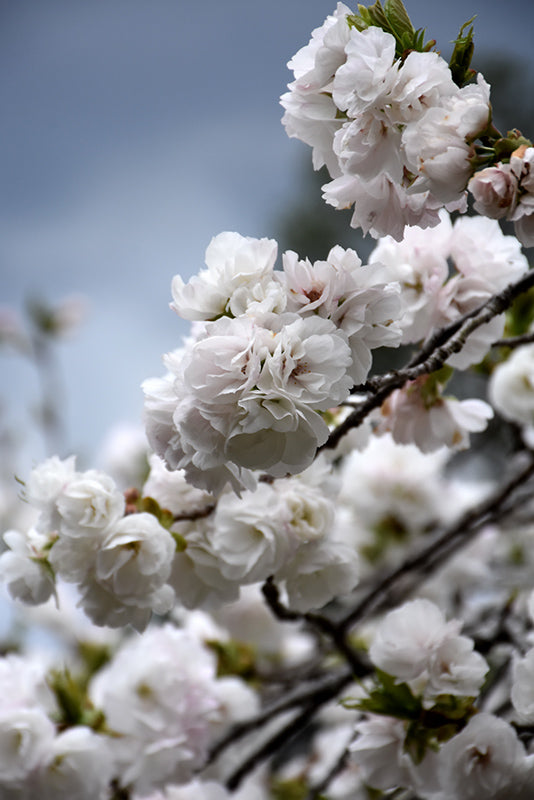 Mt. Fuji Flowering Cherry flowers