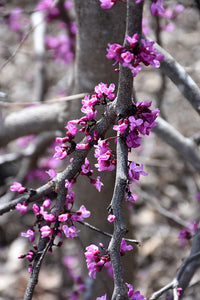 Ruby Falls Redbud flowers