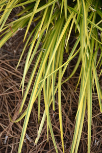 EverColor® Everoro Japanese Sedge foliage