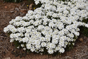 Snowsation Candytuft in bloom
