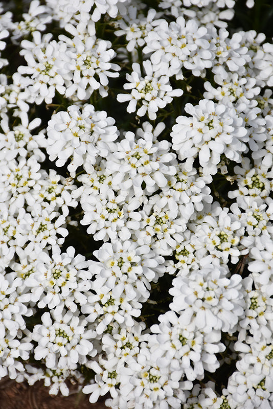 Snowsation Candytuft flowers