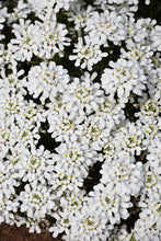 Load image into Gallery viewer, Snowsation Candytuft flowers