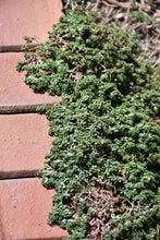 Load image into Gallery viewer, Elfin Creeping Thyme