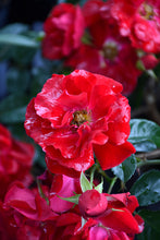 Load image into Gallery viewer, Red Ribbons Rose flowers