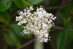 Texanum Japanese Privet flowers